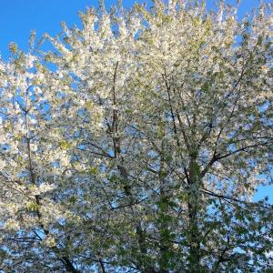 Cerisier Avry