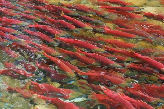 sockeye-salmons